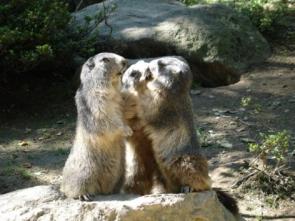 1-37-Parc-animalier-des-Pyrenees---Marmottes